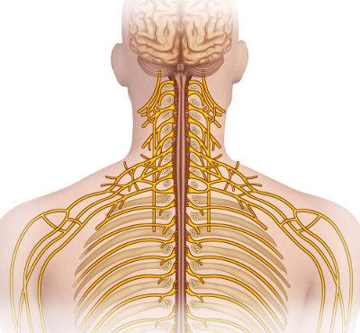 O Sistema Nervoso Periférico apresenta como componentes os nervos e os gânglios