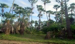 Vegetação formada por palmeiras.