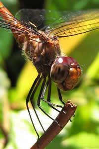 As libélulas possuem três pares de patas. Fotografia: Jean Jeremias.