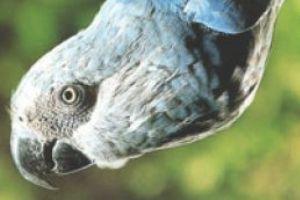 Ararinha azul (Cyanopsitta spixii): espécie que se encontra criticamente em perigo de extinção.