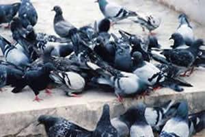 A superpopulação de pombos urbanos é um problema de saúde pública
