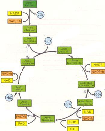 O Ciclo de krebs e a produção de energia para o trabalho celular.