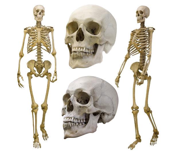 O esqueleto humano é essencial para a nossa sobrevivência, garantindo, por exemplo, a proteção de órgãos internos.
