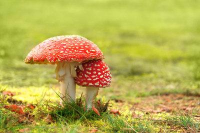 Os fungos do filo Basidiomycota são conhecidos como cogumelos