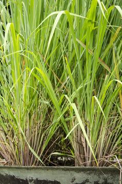 O capim-santo é uma planta medicinal que possui ação calmante e antiespasmódica