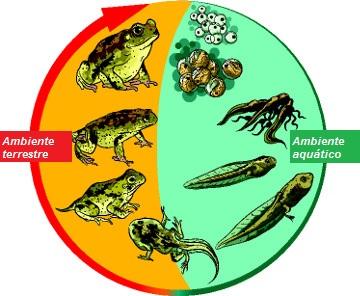 Durante o desenvolvimento do anuro, parte do ciclo de vida ocorre na água