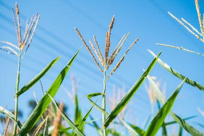 O milho é um exemplo de planta polinizada pelo vento