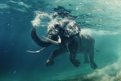 Os elefantes precisam de matéria orgânica de outros organismos