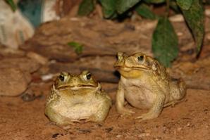 Anfíbios anuros da família Bufonidae. Fotografia: Fabrício H. Oda.