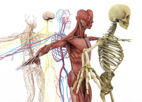 O corpo humano é uma máquina perfeita e formada por diferentes sistemas.