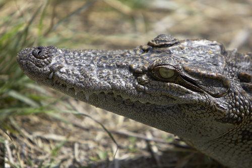 O focinho do crocodilo é mais afilado quando comparado ao jacaré