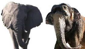 Elefante africano e elefante asiático.