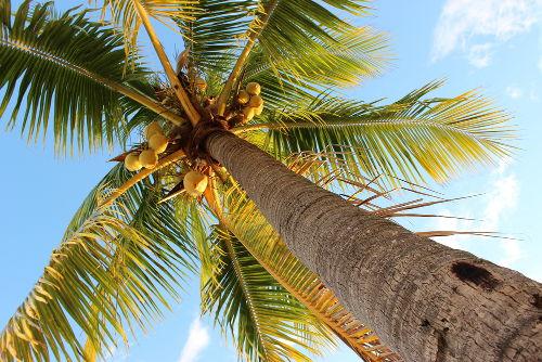O coqueiro é um exemplo de monocotiledônea.