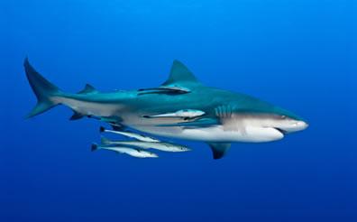 Na imagem, podemos observar uma relação de comensalismo entre as rêmoras e o tubarão