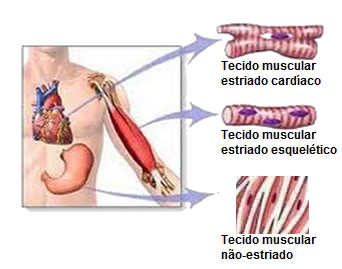Esquema mostrando a localização, no corpo humano, dos três tipos de tecido muscular