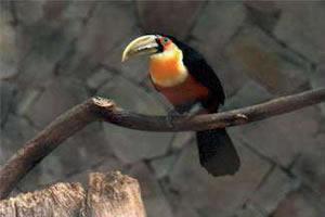 Tucano-de-bico-verde: animal onívoro que desempenha diversos papéis nas cadeias alimentares.