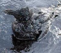 Animal marinho coberto por petróleo.