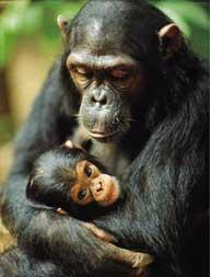 Semelhanças entre o chimpanzé e o homem