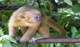 É injetado álcool puro na veia dos micos para que fiquem quietos.