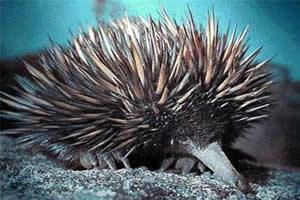 Zaglossus attenboroughi: nome que homenageia o naturalista David Attenborough.