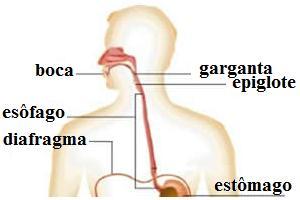 Localização do esôfago e de algumas estruturas relacionadas ao sistema digestório.