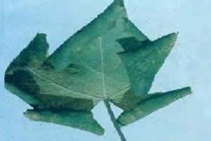 Planta acometida pela virose do enrolamento da folha.