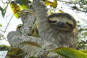 Bicho-preguiça: mamífero da Superordem Xenarthra, Ordem Pilosa.