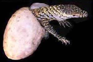 Dragão de Komodo nascido por partenogênese.