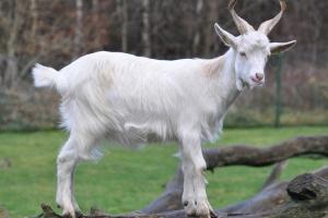 Cabras e bodes, geralmente, apresentam barba e cornos.