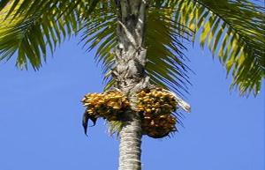Cada cacho da pupunheira possui até cem frutos