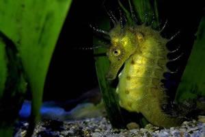 Cavalo-marinho: um peixe ósseo actinoperígeo.