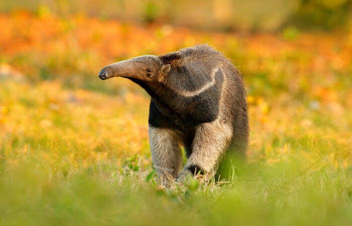 Os tamanduás são animais que apresentam um focinho estreito e comprido.