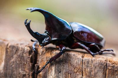Os besouros são artrópodes classificados no grupo dos insetos
