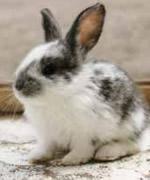 A pelagem de coelhos, um caso de polialelia.