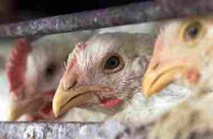 Gripe do Frango: ocasionado pelo vírus Influenza, tem como hospedeiro as aves.