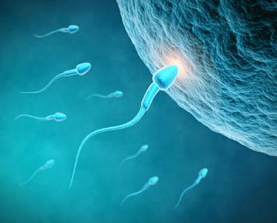 A fecundação é a penetração do espermatozoide no óvulo com consequente formação do zigoto