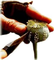 Ópio sendo extraído