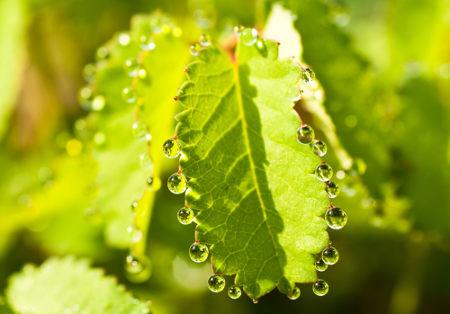 As gotas na folha não são orvalho, e sim líquido sendo eliminado pela própria planta