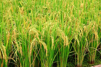 O hormônio giberelina estimula o crescimento de caules e folhas