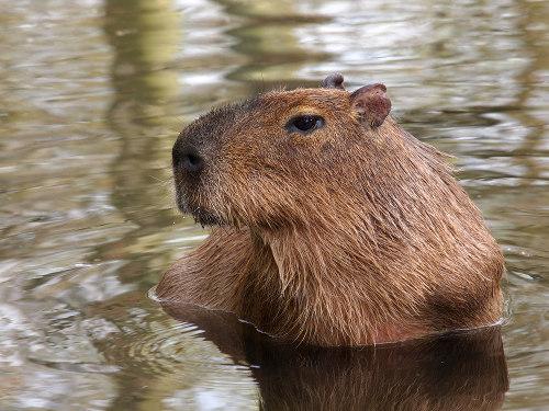 A capivara é o maior roedor do mundo