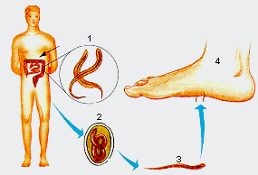 Ciclo da Ancilostomose