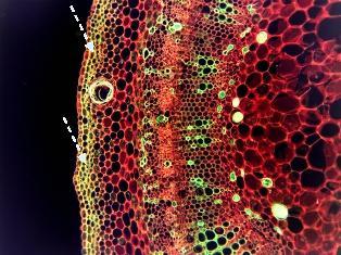 O colênquima é encontrado em regiões mais periféricas do órgão