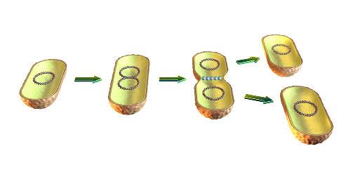 Na divisão binária, geralmente observa-se a formação de clones