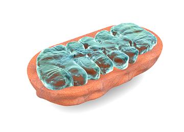 Algumas etapas da respiração ocorrem nas mitocôndrias