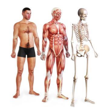 O sistema locomotor é formado pelo sistema muscular e esquelético