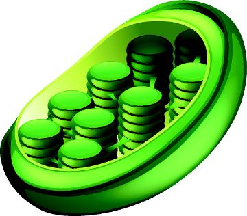 Os cloroplastos são plastídios que apresentam clorofila e carotenoides