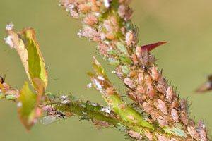 Pulgões e plantas: relação parasita-hospedeiro.