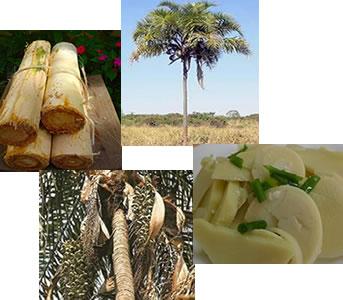 O palmito da guariroba é muito utilizado na culinária dos estados de Goiás e Minas Gerais.