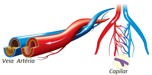 Observe o esquema dos vasos sanguíneos presentes no corpo