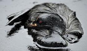 Como limpar aves cobertas com petróleo?